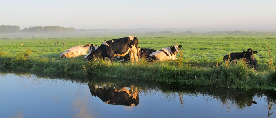 Koeien aan de waterkant